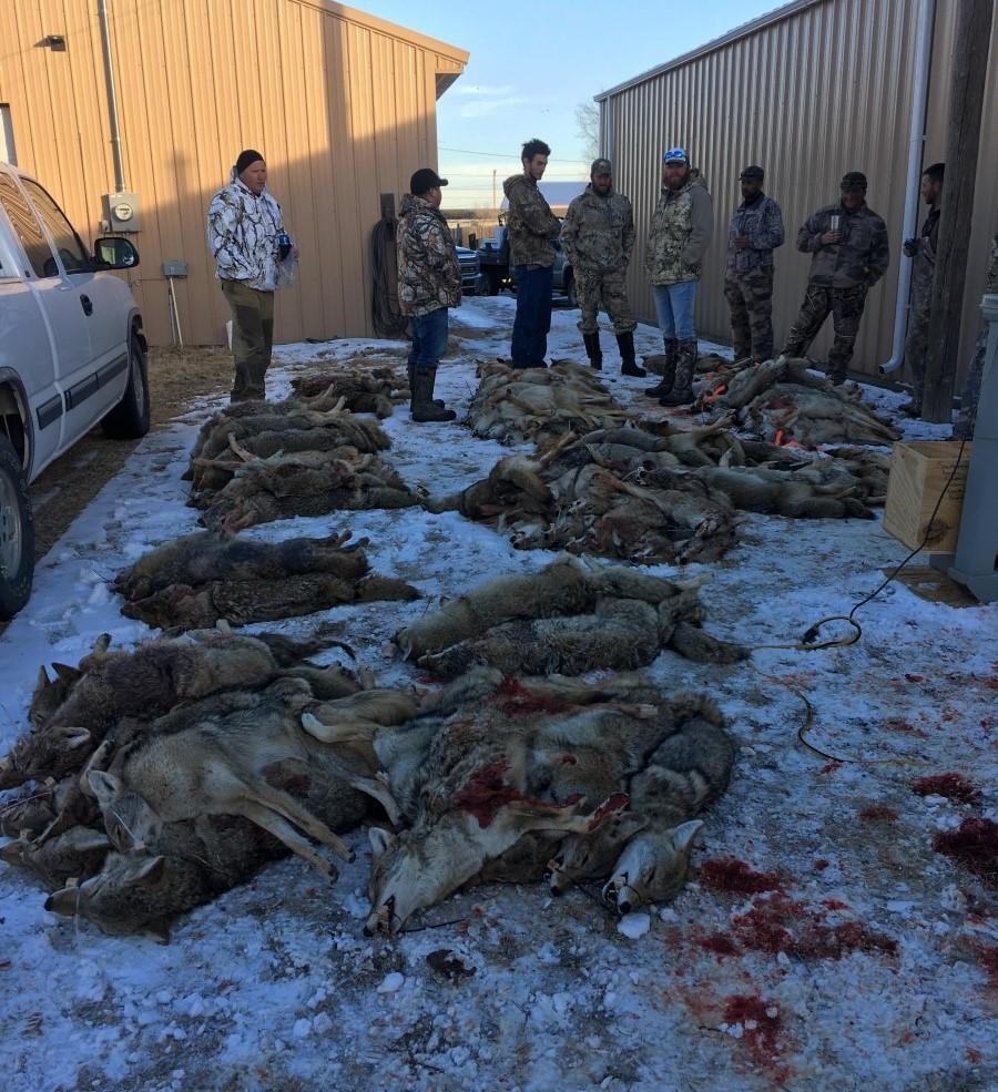 Hunters surround 103 coyotes at the 2019 contest. (Photo by Bryan Garrison)