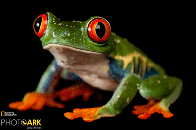 We stock a wide variety of frogs, toads, and other amphibians, both common and rare. Frogs can make great first pets and are well suited for experienced hobbyists as well.