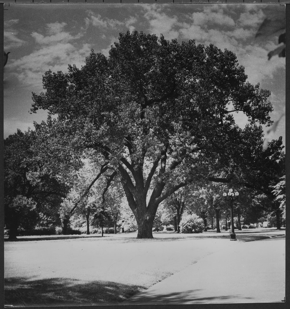 A cottonwood tree on the grounds of the Kansas capitol in Topeka, Kansas. Date: Between 1940 and 1949 (Kansas Historical Society/kansasmemory.org)