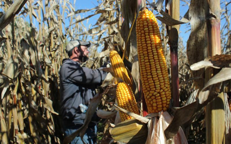 Scientists say climate change will likely make drought more common across the Great Plains and that has corn growers worried. (Photo by Grant Gerlock, Harvest Public Media)