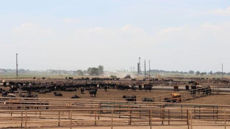 JBS USA is selling its cattle feeding operations in the U.S., which have a capacity of nearly 1 million head of cattle. (Photo: Harvest Public Media)