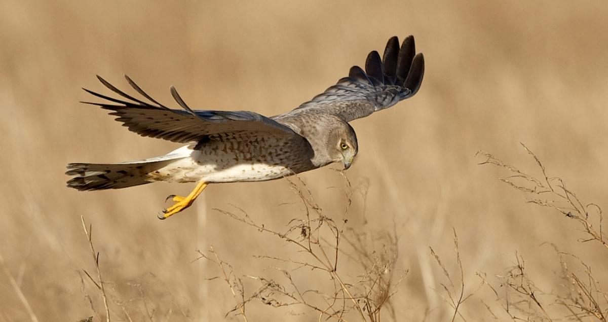 Northern Harrier (Photo from The Cornell Lab: www.allaboutbirds.org)