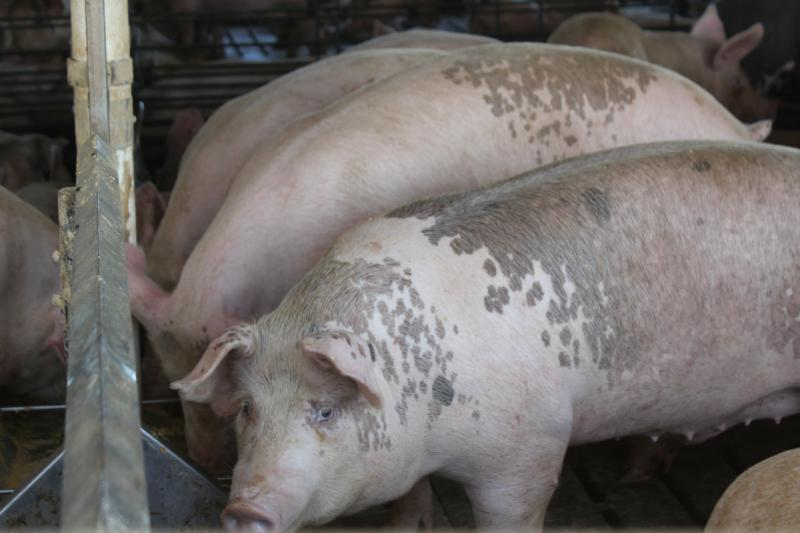 Hog farmers say diets for their animals can be altered to prevent them from bulking up too much if they have to stay in barns longer than planned. (Photo by Amy Mayer, Harvest Public Media)