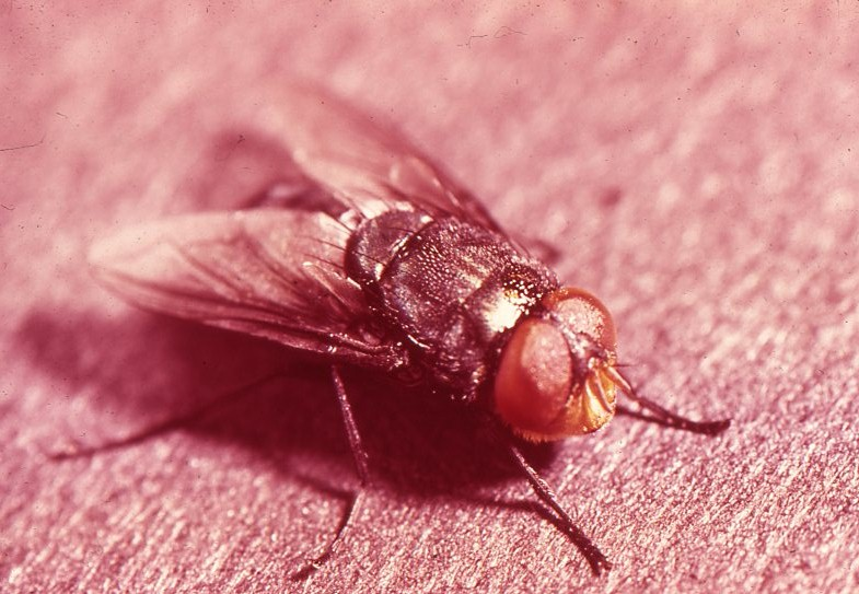 Typical screwworm fly, a parasite all but eradicated from the U.S. and Mexico, thanks to a couple of smart scientists. (Photo by USDA)