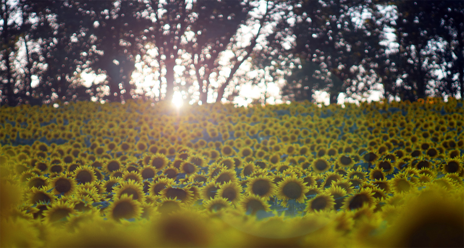The common, wild sunflower (helianthus annuus) is the official state flower of Kansas.