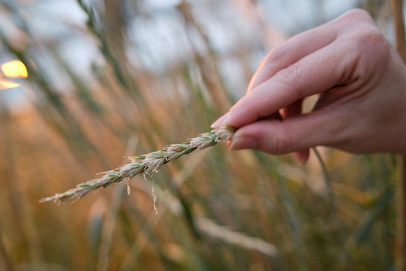 Kernza, a perennial grain, growing in a greenhouse at The Land Institute in Salina. (Photo by Brian Grimmett, Kansas News Service)