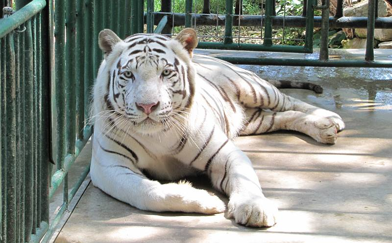 Kima, a white tiger, came to Cedar Cove Feline Conservatory in Louisburg in 2009. (Photo from www.kansastravel.org)