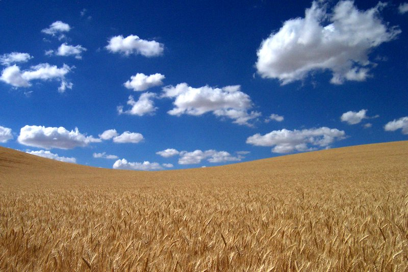 Wheat field, under a big, blue, Kansas sky.