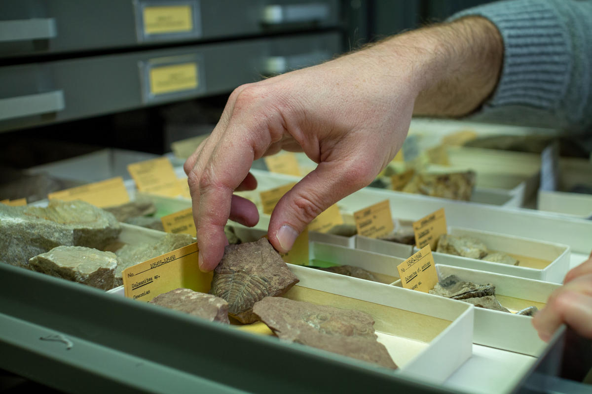 KU professor Bruce Lieberman hunts for fossil specimens in a drawer. (photo by Brian Grimmett / Kansas News Service)