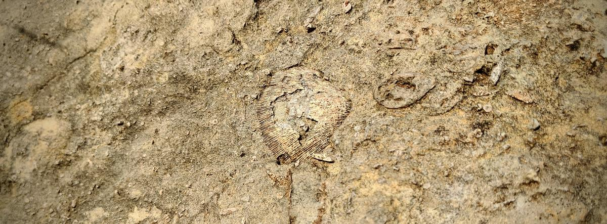A fossil that's 250 million years old is encased in rock in a road cut near U.S. 400, a mile west of Augusta. (photo by Brian Grimmett / Kansas News Service)