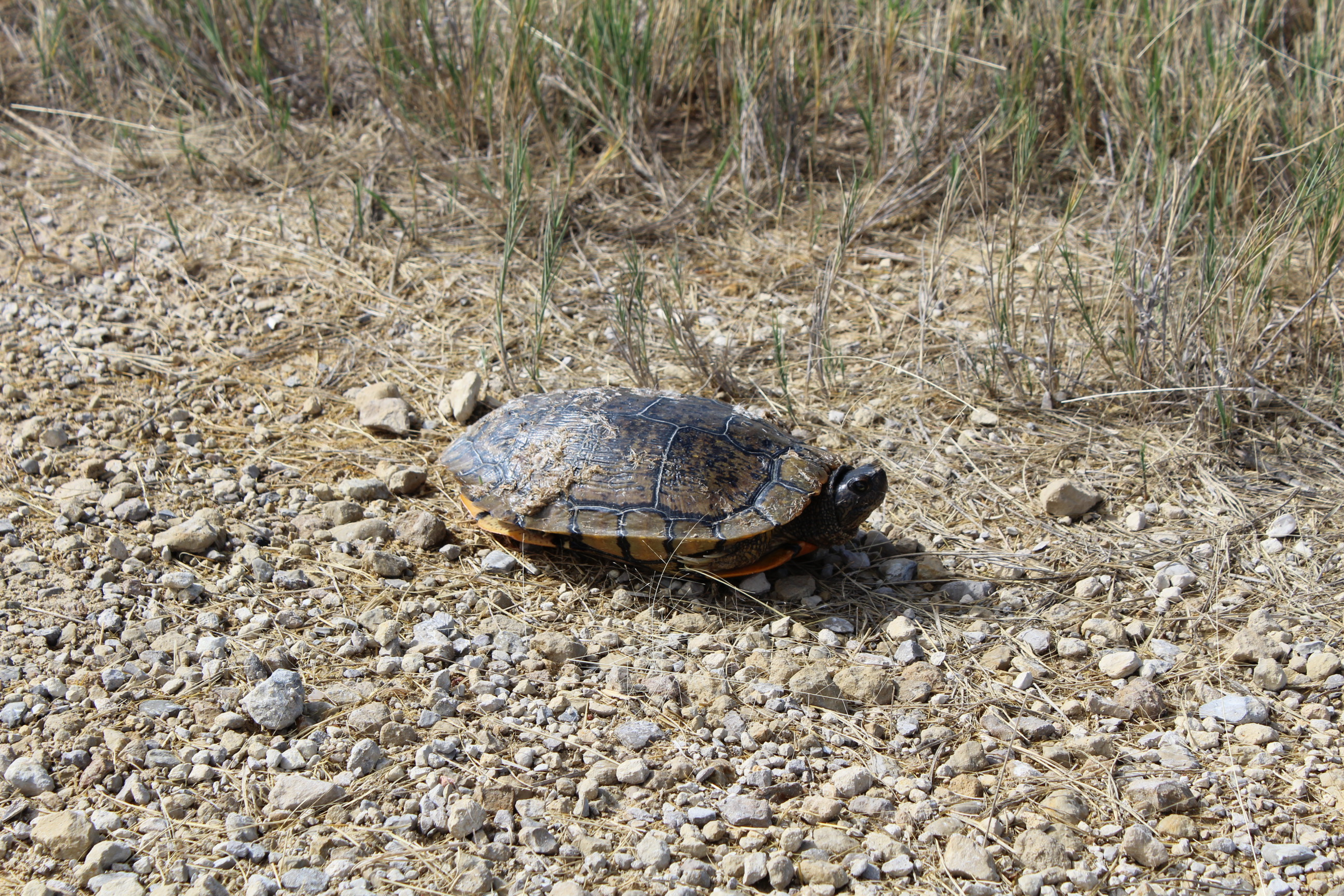 Quivira National Wildlife Refuge isn't just for the birds. It's also home to turtles like this one. (Photo by J. Schafer)