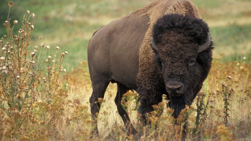 American bison (image from Wikipedia)