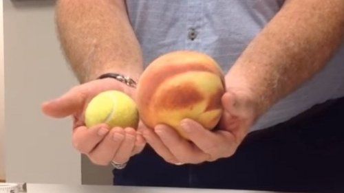 The giant peach in question, shown next to a tennis ball for comparison, is known as a Lady Nancy and weighs about two pounds!
