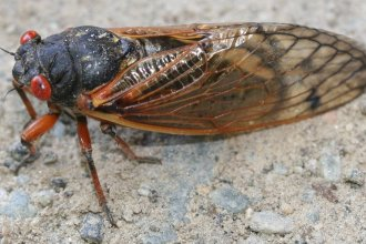 17-year cicada (Photo credit: Tennessee Farm Bureau)