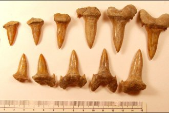 Cretodus teeth uncovered at Ringneck Ranch in Mitchell County, Kansas. (Photo courtesy of Mike Everhart)