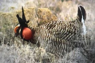 A lesser prairie chicken near the Smoky Hill River in western Kansas. (Photo Courtesy of Stacy Hoeme)