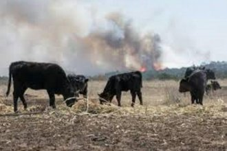 Ranchers won't be able to tally their losses until the fires are out, but thousands of cattle are likely lost.