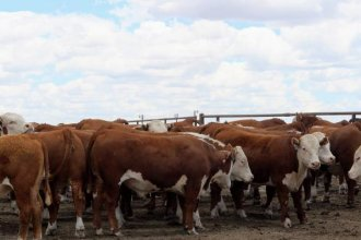 Hereford cattle at the Finney County Feedyard.  (Photo by Corinne Boyer / Kansas News Service)