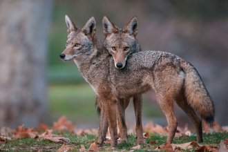 Two American coyotes (Photo by Sean Crane, Minden Pictures, from National Geographic)