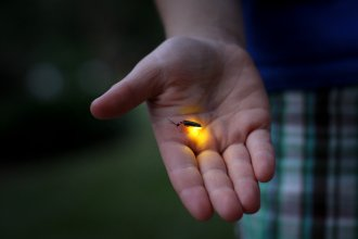 A photograph of a firefly, taken by Jessica Lucia, courtesy of featuredcreature.com