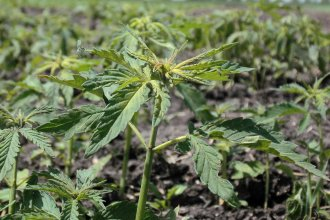 Hemp plants growing in a field. (Flickr photo by Lesley L.)