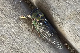 Typical Kansas cicada (Photo by Aidan Loveland Koster)