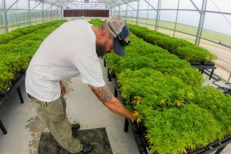 P.J. Sneed checks on some of his hemp plants waiting to be planted at his farm in Plevna, Kansas. (Photo by Brian Grimmett / Kansas News Service)