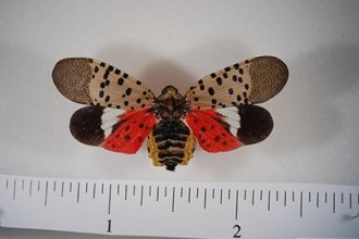 Pinned spotted lanternfly adult with wings open. Note the bright red coloration now visible on the hindwings. This cannot be seen when the insect is at rest. (Photo courtesy of the Pennsylvania Department of Agriculture)