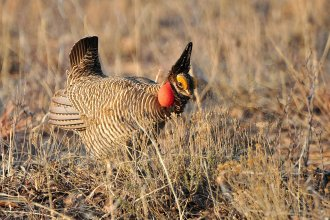 Lesser Prairie Chicken, seen here in New Mexico (Photo from Wikipedia)