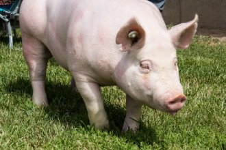 The report says pigs receive 37 percent of all the medically important antibiotics given to livestock.