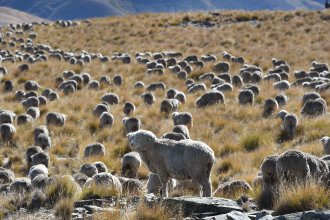 Methane emitted by ruminant animals like cattle and sheep accounted for 34% of New Zealand's greenhouse emissions in 2017. A flock of merino sheep on the country's South Island are seen here in April 2017.
