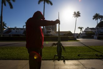"""A man holds a cold-stunned iguana outside an apartment complex in West Palm Beach, Fla., on Wednesday. """"This isn't something we usually forecast, but don't be surprised if you see iguanas falling from the trees tonight as lows drop into the 30s and 40s,"""" the National Weather Service said Tuesday."""