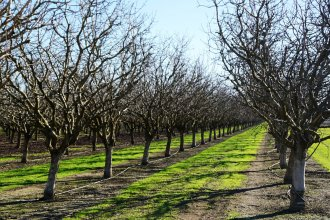 The cold temperatures that pistachio trees need to bloom on time are becoming more scarce as winters get warmer.