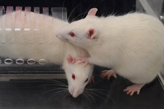 "Faced with a rat trapped in a restrainer, a free rat opens the trap's door to liberate the trapped animal (while stepping on its head — ""very rat-ish behavior,"" says University of Chicago neurobiologist Peggy Mason)."