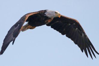 An American bald eagle flies over Mill Pond in Centerport, N.Y., in 2018. The bald eagle is one of the birds protected by the Migratory Bird Treaty Act.