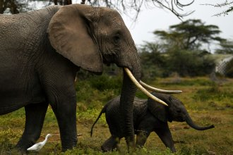 A mother elephant and her calf head for a nearby marsh at Kenya's Amboseli National Park on August 12.