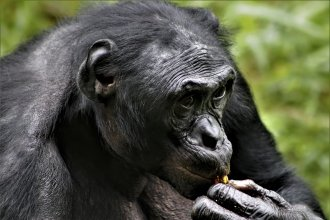 Researchers have observed that the friendliest male bonobos, like this male resident of Lola Ya Bonobo sanctuary in the Democratic Republic of the Congo, tend to be the most successful. Early humans may have had the same experience with their peers.