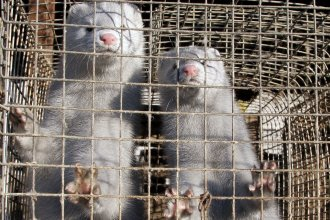 Minks in a cage at a mink farm in Pushkino, Russia, more than 20 miles from Moscow.