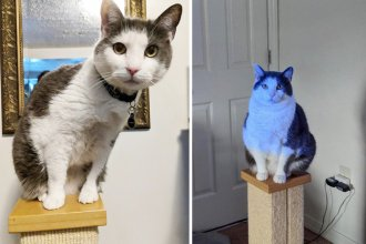"""It's estimated that more than half of the indoor cats in the U.S. are overweight. (Above) Miko the cat, aka """"Miko Angelo,"""" is seen before and after participation in a study about feline weight loss."""