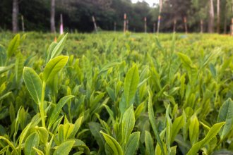 A crop of Camellia sinensis thrives at Minto Island Tea Company's Oregon farm.