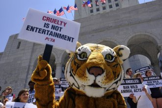 Protesters with People for the Ethical Treatment of Animals (PETA), including a costumed tiger, gathered at City Hall in Los Angeles last year to call on the city to prohibit circuses from using tigers, lions, and other wild animals in their acts. Circuses have been a target of PETA since it was founded in 1980.