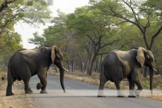 Elephants cross the road at Hwange National Park, Zimbabwe, not far from where an elephant crushed a man to death on Friday.