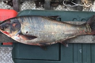 The silver carp captured Thursday in Illinois just downstream of the T.J. O'Brien Lock and Dam. It weighs about 8 pounds and measures 28 inches long.