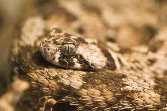 Echis carinatus — aka the carpet viper — is a venomous species that strikes humans in parts of the Middle East and Africa.