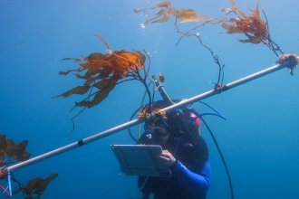 Kelp plants grow on a 30-foot-long, white PVC pole suspended in the water. If this is successful, instead of just one row, there would be a whole platform, hundreds of meters across and hundreds of meters deep, full of kelp plants.