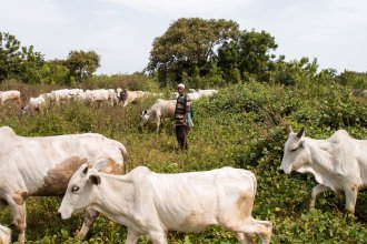 Sale Tambaya, a cattle herder in central Nigeria, grazes his cows. After his home state criminalized open grazing on Nov. 1, he and his family fled with their livestock to a neighboring state where grazing is allowed. Two of his sons died on the journey.