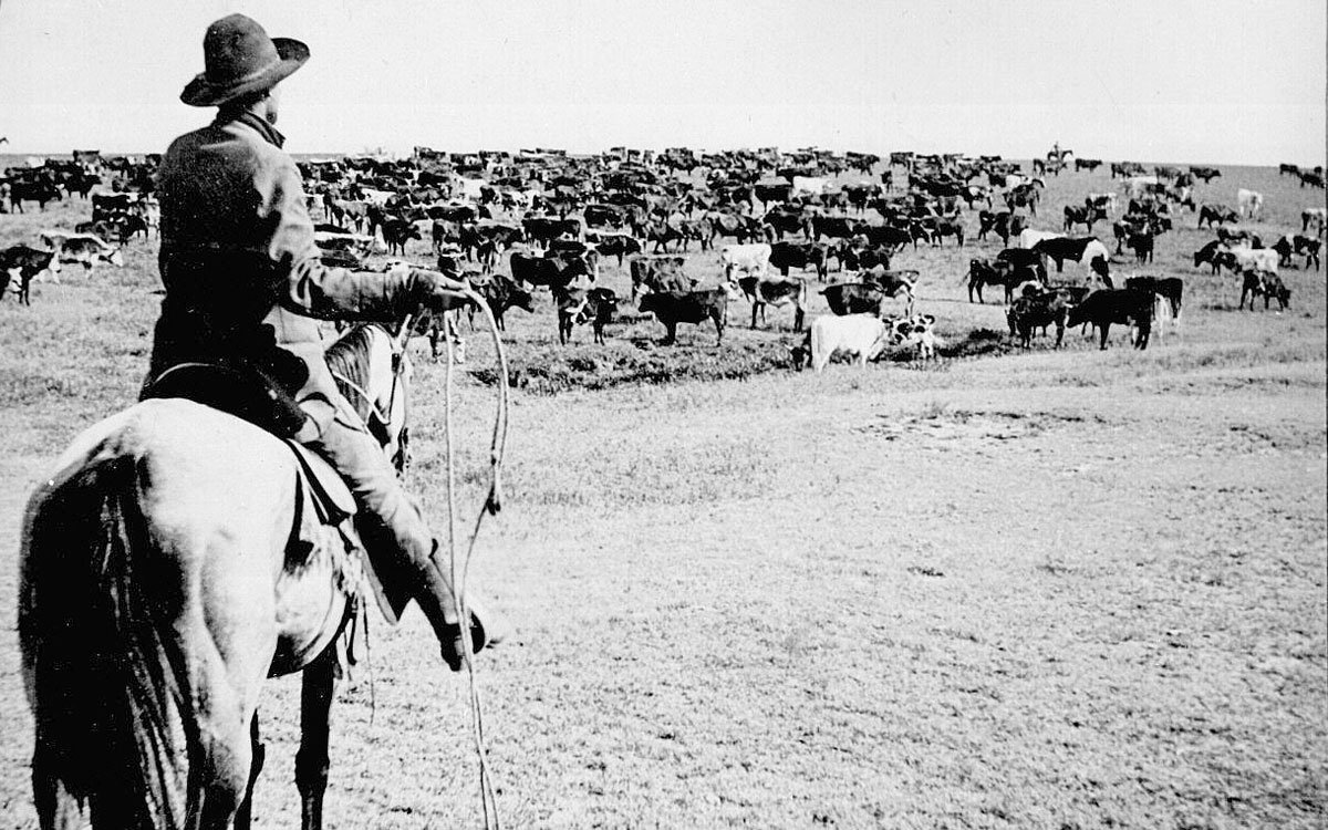 Cattle herd and cowboy, circa 1902 (Photo via Wikimedia)
