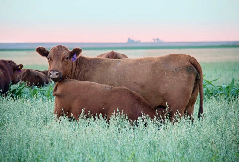 Cattle graze on a cover crop mixture of peas, oats, barely, rapeseed and flaxseed on Jay Young's farm. (Photo by Della Rambo)