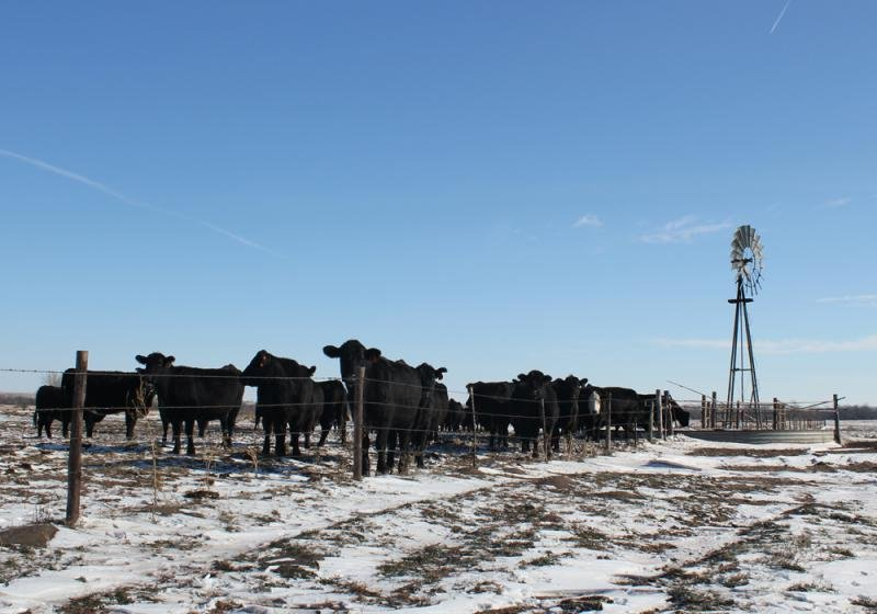 Cattle gather for a drink on a ranch in Nebraska. (File photo /Harvest Public Media)