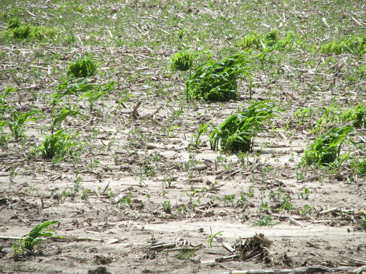 This parched field, just outside of Colby in Thomas County, shows the effects of the region's worst drought since the Dust Bowl days of the 1930s. (Photo by David Guth)